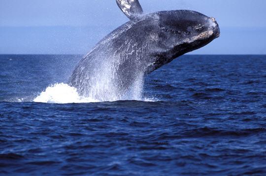 Baleine de Biscaye