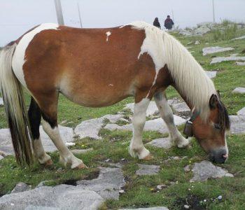 Le pottok (cheval en basque)